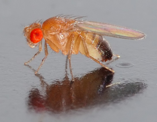drosophila-mosca-vinagre